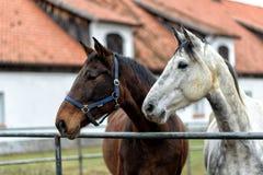 Cavalos em um prado em uma exploração agrícola no Polônia oriental Fotos de Stock