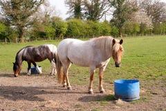 Cavalos em uns baldes do alimento do campo Fotografia de Stock