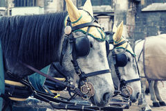 Cavalos em Viena Foto de Stock Royalty Free