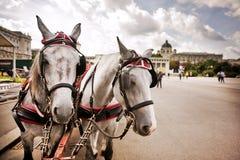 Cavalos em Viena, Áustria Fotografia de Stock