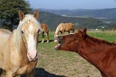 Cavalos engraçados Foto de Stock Royalty Free