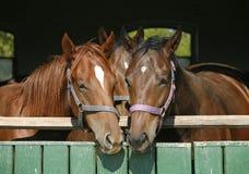 Cavalos engraçados do puro-sangue que estão na porta estável fotografia de stock royalty free