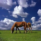 Cavalos felizes Imagens de Stock Royalty Free