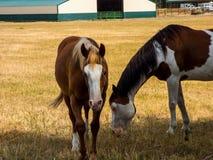 Cavalos felizes em um pasto imagens de stock royalty free