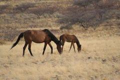 Cavalos ferozes Fotos de Stock Royalty Free