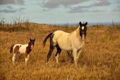 Cavalos havaianos Imagem de Stock Royalty Free