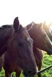 Cavalos II Imagens de Stock