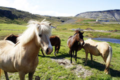 Cavalos islandêses fotografia de stock