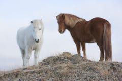 Cavalos islandêses Imagens de Stock