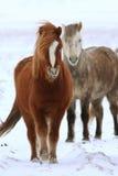 Cavalos islandêses Imagem de Stock