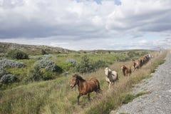 Cavalos islandêses Foto de Stock Royalty Free