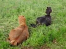 Cavalos islandêses Fotos de Stock Royalty Free