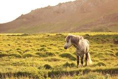 Cavalos islandêses Fotos de Stock