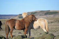 Cavalos islandêses foto de stock