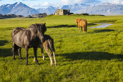 Cavalos islandêses com ruínas e montanhas Fotografia de Stock