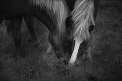 Cavalos islandêses em preto e branco fotos de stock