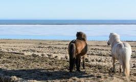 Cavalos islandêses em um campo Fotos de Stock