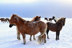 Cavalos islandêses no inverno imagens de stock