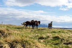 Cavalos islandêses no sol, perto de Myvatn Imagens de Stock