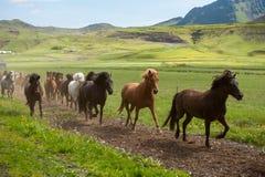 Cavalos islandêses que galopam abaixo de uma estrada, paisagem rural, Islândia Imagem de Stock Royalty Free