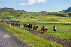 Cavalos islandêses que galopam abaixo de uma estrada, paisagem rural, Islândia Imagem de Stock