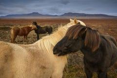 Cavalos islandêses que mostram a afeição Fotografia de Stock