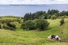 Cavalos islandêses que pastam Imagem de Stock