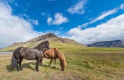 Cavalos islandêses, Reykholt, Islândia fotos de stock royalty free