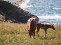 Cavalos livres Graze Around The Sea imagens de stock
