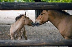 Cavalos mãe e filho do ` s de Przewalski fotos de stock royalty free