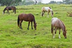 Cavalos marrons bonitos que pastam Fotos de Stock Royalty Free