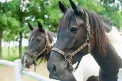 Cavalos marrons brancos Fotos de Stock