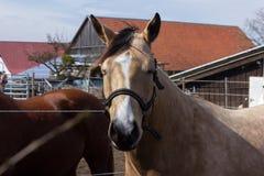 cavalos marrons e brancos em um prado quando o sol brilhar fotos de stock royalty free