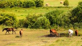 Cavalos marrons graciosos majestosos no prado Fotografia de Stock