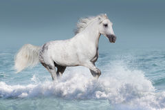 Cavalos na água Foto de Stock Royalty Free