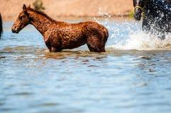 Cavalos na água Fotos de Stock Royalty Free