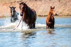 Cavalos na água Fotografia de Stock Royalty Free