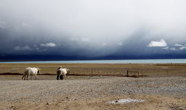 Cavalos na beira do lago Imagem de Stock