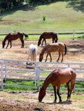 Cavalos na escala Fotografia de Stock