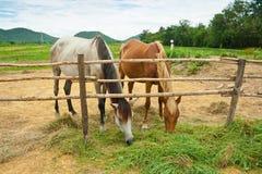 Cavalos na exploração agrícola, Tailândia Fotografia de Stock