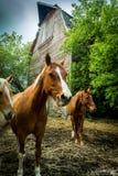 Cavalos na frente de um celeiro Fotografia de Stock