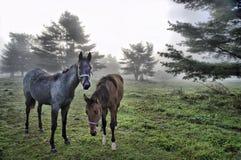 Cavalos na névoa Fotografia de Stock Royalty Free