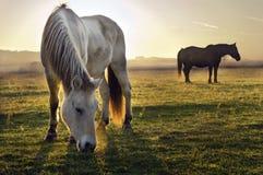Cavalos na névoa da manhã Foto de Stock