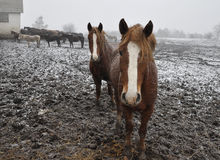 Cavalos na neve blizzard_3 fotografia de stock