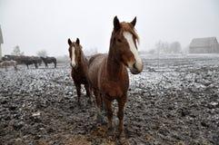 Cavalos na neve blizzard_4 imagens de stock