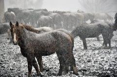 Cavalos na neve blizzard_8 imagem de stock