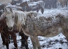 Cavalos na neve blizzard_11 fotografia de stock