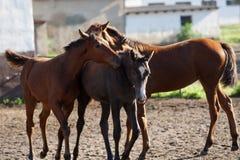 Cavalos na passarela Imagem de Stock Royalty Free