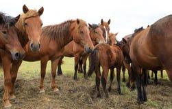 Cavalos na pastagem Foto de Stock