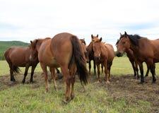 Cavalos na pastagem Fotos de Stock